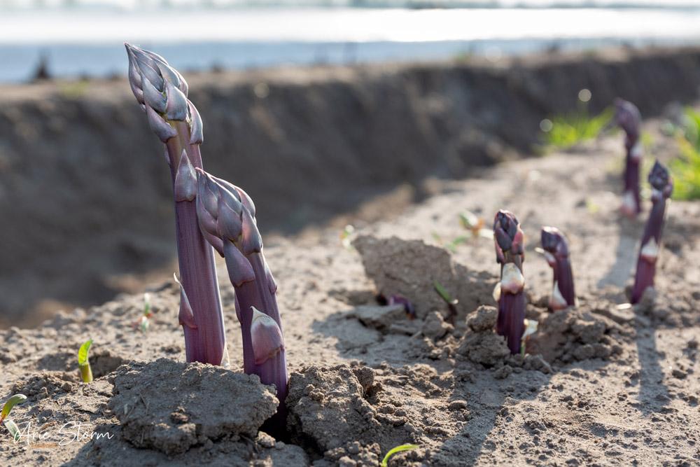 asperge,paarse asperges, agricultuur,oogst,arie storm fotografie