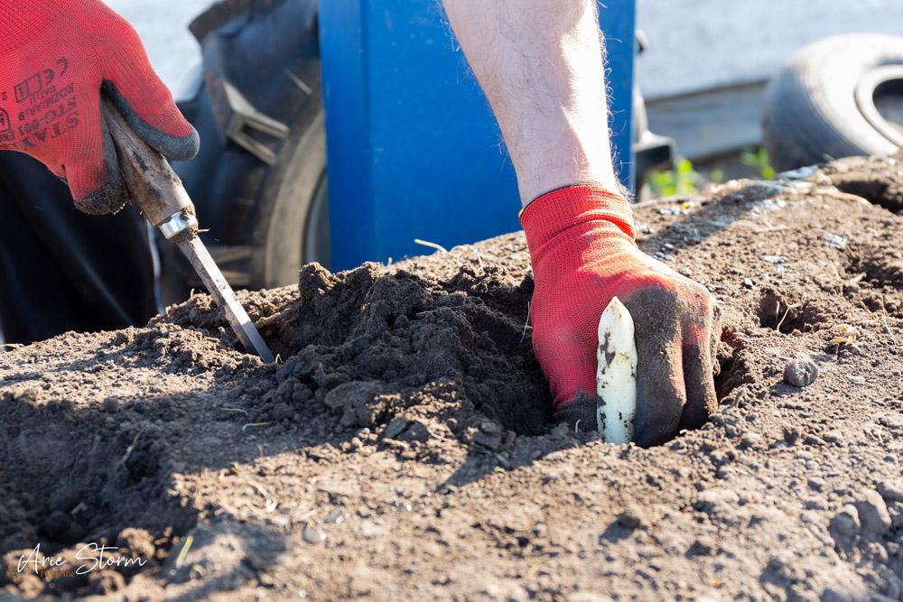 asperges,steken,zlto,seizoensarbeider,agricultuur