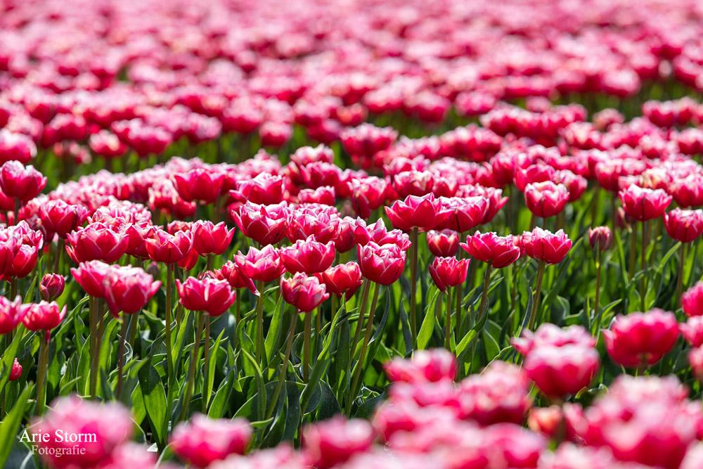 Agrarische fotografie van tulpen door Arie Storm Fotografie